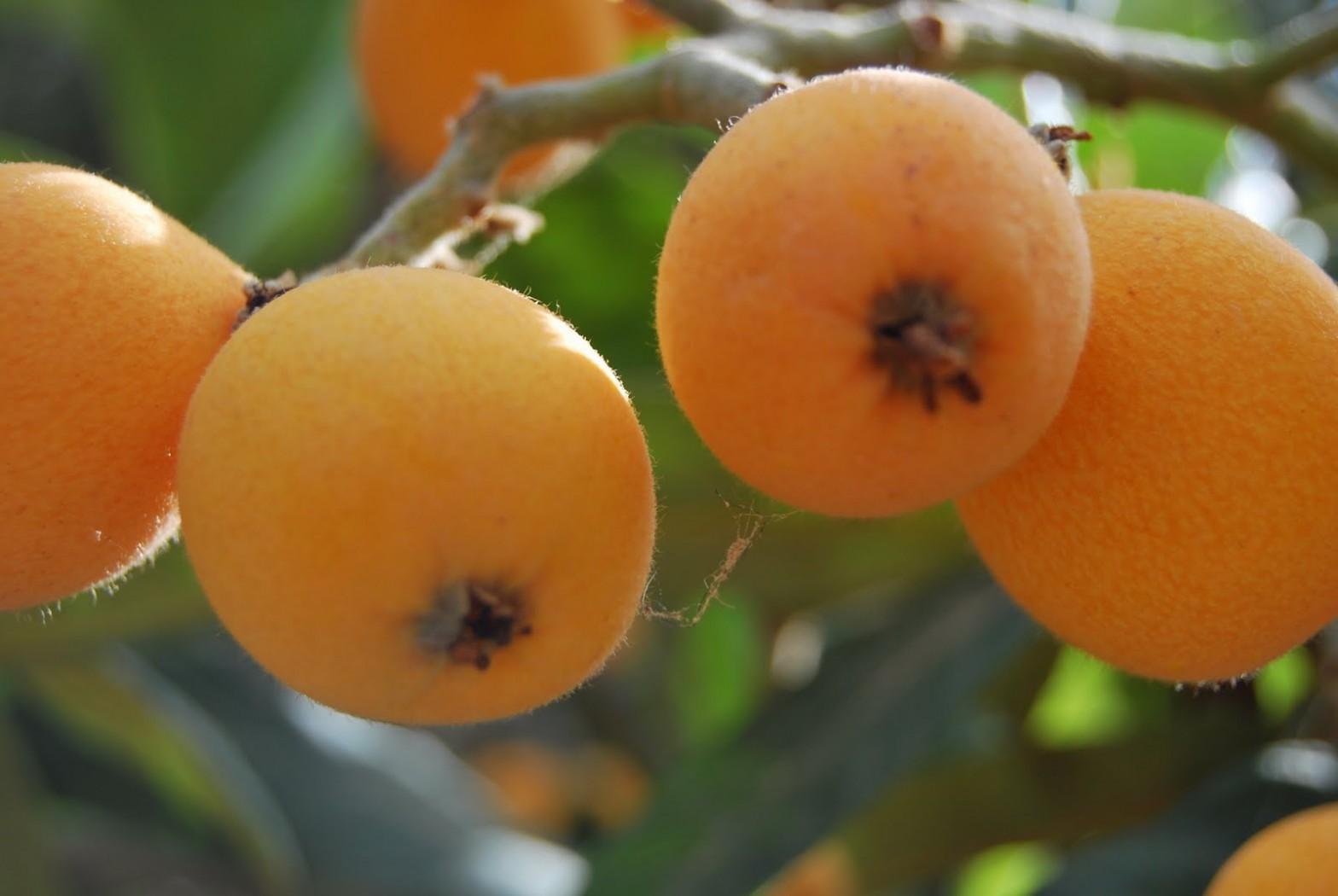 Мушмула - полезные свойства, применение в медицине  и противопоказания
