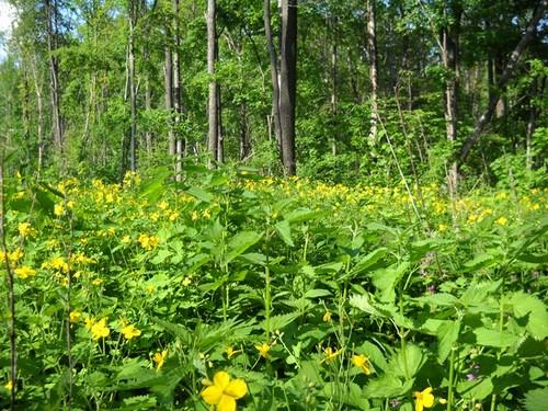 Растение чистотел и его полезные свойства для организма